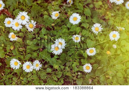 Wild camomile flowers growing on green meadow, macro image with sunlight