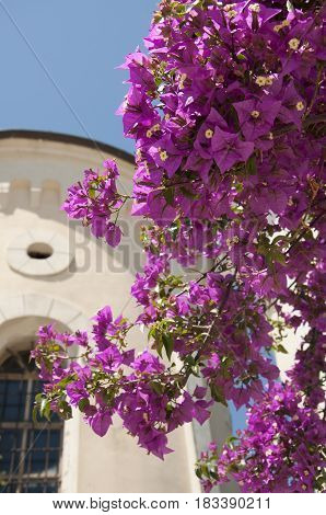 Purple bougainville before the house in Montenegro