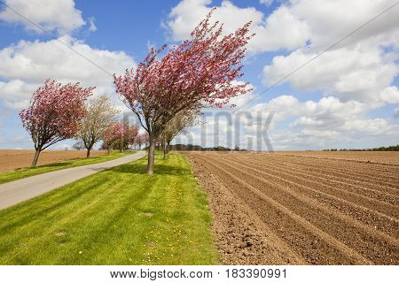 Cherry Blossom And Potato Rows