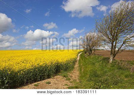 Oilseed Rape Crop And Blossom