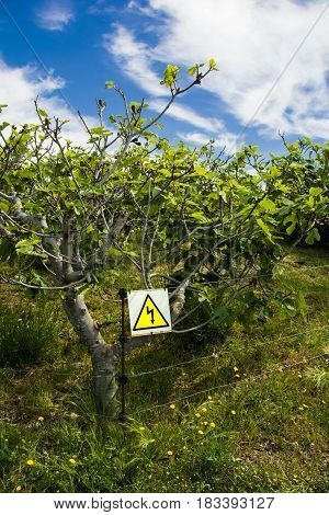Electric fencing protecting a field of fig trees