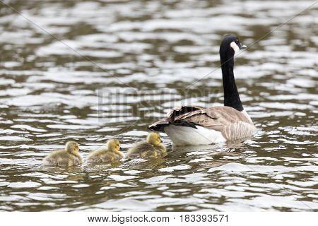 Canada Goose with Goslings. Santa Clara County, California, USA.