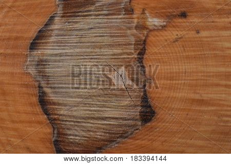 Fresh cracked wood rings on stump with sawdust background texture. Siberian birch slice in macro.
