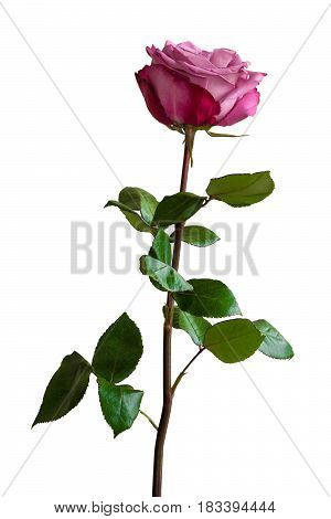 Lilac rose with green leaves on white background. Isolated.