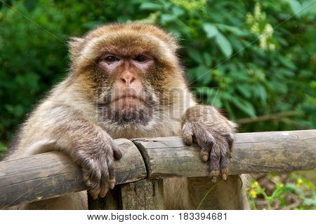 Barbary macaque (Macaca sylvanus) leaning on a fence. La Valleé des Singes France.