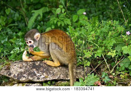 Squirrel monkey (Saimiri) eating an egg. La Vallée des Singes France.