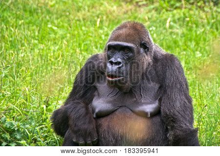 Animal portrait of a female gorilla. La Vallée des Singes Romagne France.