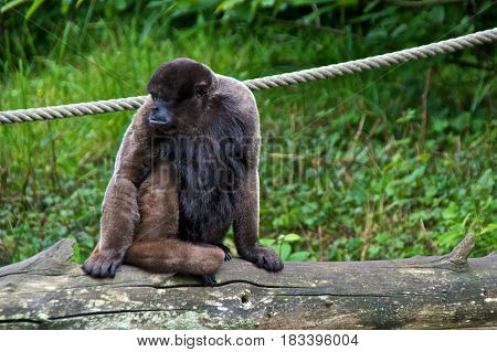 Woolly monkey (Lagothrix lagotricha) sitting. La Vallée des Singes Romagne France.