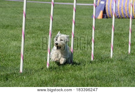 West Highland white terrier dog weaving though weave poles on a dog agility course
