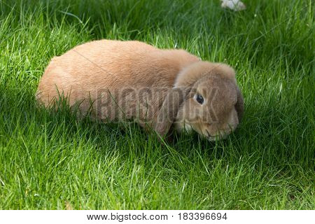 Brown Lop Eared Bunny Rabbit Eating Green Grass