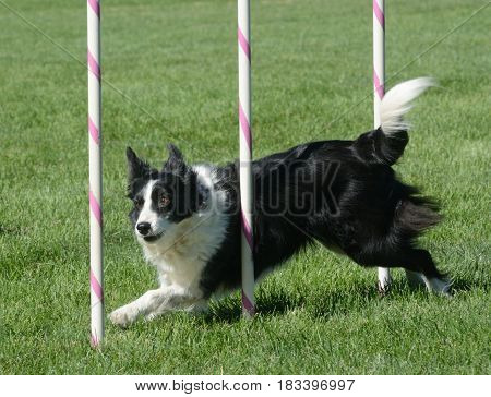 Border collie weaving through weave poles on dog agility course