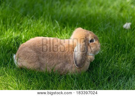 Brown Lop Eared Bunny Rabbit Posing On Green Grass