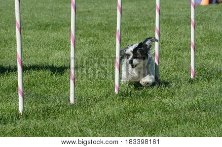 Havanese dog weaving though weave poles on dog agility course