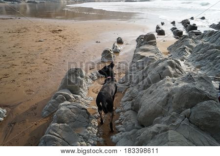 Dog of breed Pinscher quietly observing the sea