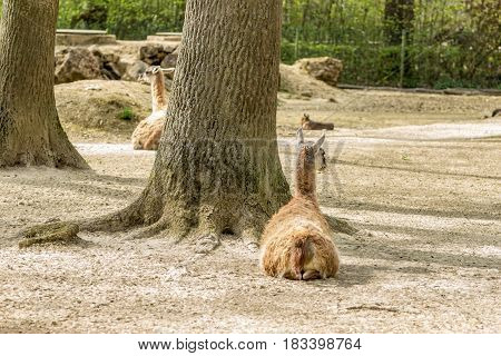 Two Guanacos Sitting Under A Great Big Tree