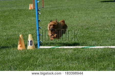 Australian Terrier dog jumping over jump on dog agility course