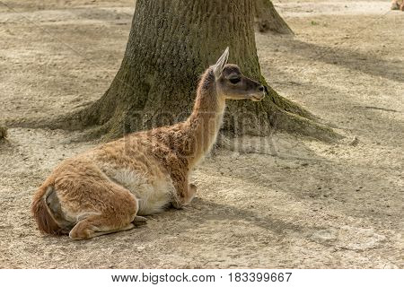 Guanaco Sitting Under A Tree - Full Body Side View