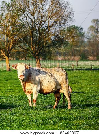 A Blonde Of Aquitaine Pedigree Cow In A Green Natural Meadow