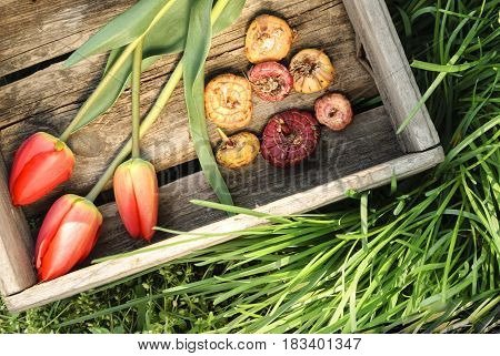 Tulips and flower bulbs in a wooden box