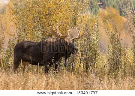 a bull shiras moose during the fall rut in Wyoming