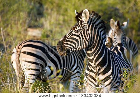 Picture of a group of Burchell`s zebras in Madikwe game reserve, South Africa.
