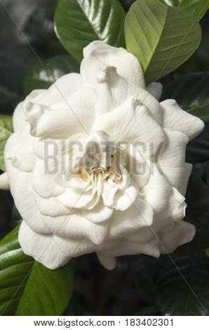 A Gardenia Blossom sends its sweet fragrance into the greenhouse on the grounds of the Biltmore Estates in Asheville North Carolina