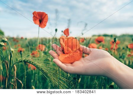 Woman holds red poppy in hands in the field in summer. Wheat field with poppies at the background. Landscape with poppies