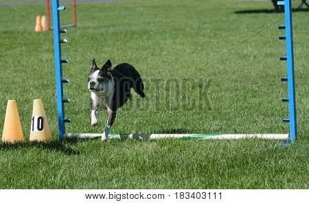 Older Boston terrier dog jumping over jump on dog agility course