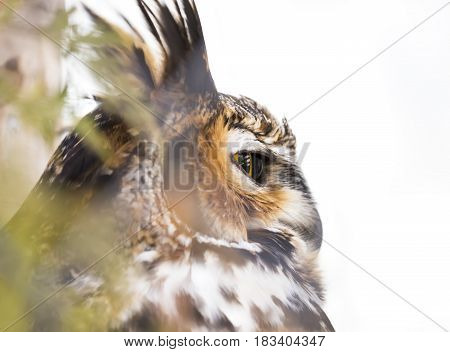 Great horned owl looking out from perch in tree side view of eye closeup