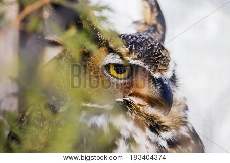 Stern Great Horned Owl predator perched in a tree partially hidden by leaves glowing yellow eye and detail in camouflage feathers closeup