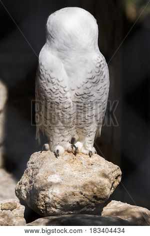 White owl with head turned completely to back perched on a rock highlighted by sun