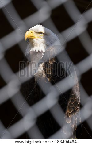 A bald eagle in strength and dignity pose behind chain fence face and head lit and background in shadow patriotism or environmental concept