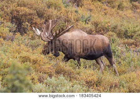 an Alaska bull moose in velvet in Denali National park