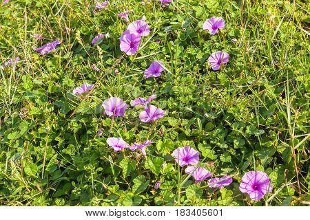 Flora purple flowers and shrubs closeup beach coastline.