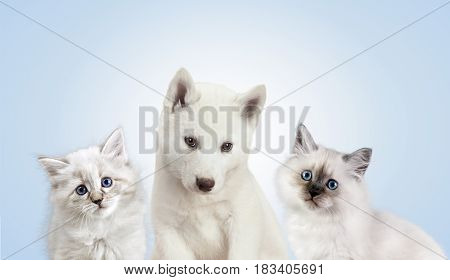 Cat and dog together, neva masquerade kitten, golden retriever. Group of wtite pets