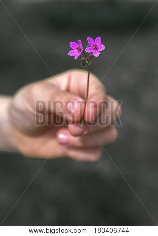 Hand gives a wild flower with love on the blured background at sunset.
