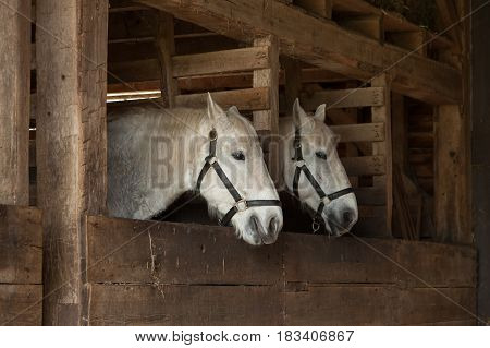 White Horses In Stables