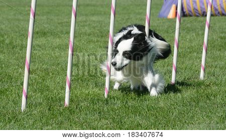 Border collie weaving through weave poles on agility course