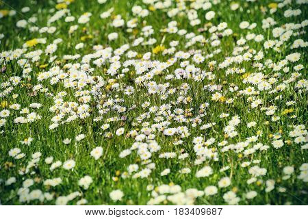 Blooming meadow with daisies. White Chamomile marguerite daisy flowers on the filed