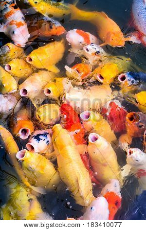 Japanese Koi feeding frenzy in a pons.