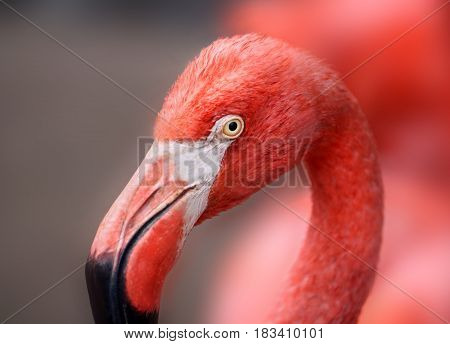 hoto of a beautiful portrait of a red flamingo in the park