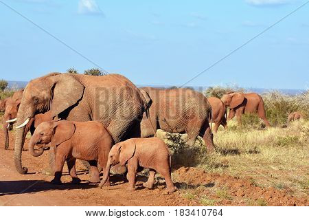picture of a group of African elephants crossing the road in private Madikwe game reserve, South Africa.
