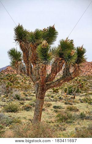 A Joshua Tree in Joshua Tree National Park - California