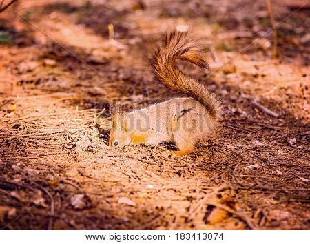 Small squirrel digs the ground in the forest ground.