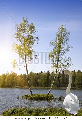 Two birch trees are growing on a small island in the middle of the forest lake and the swan in a grass ashore and looks at the lake