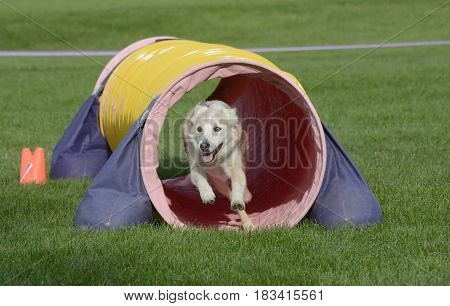Mixed breed dog running through tunnel on dog agility course