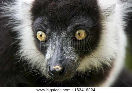 Black-and-white ruffed lemur (Varecia variegata) portrait. La Valleé des Singes Romagne France.