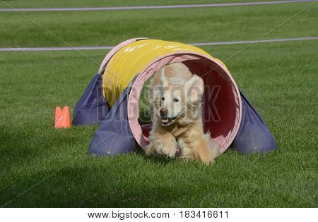 Older golden retriever dog running though tunnel on dog agility course