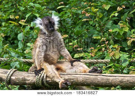 Female black lemur (Eulemur macaco) sunbathingf. La Vallée des Singes Romagne France.
