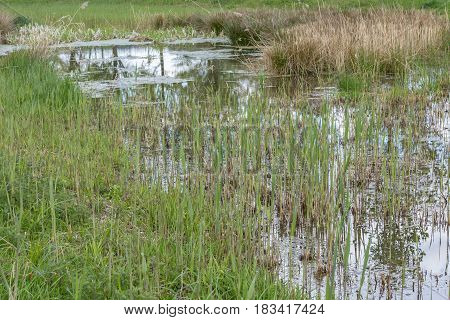 Swamp Part Of A European River With Cattail, Grass And Dry Weed. Reflection On The River Water